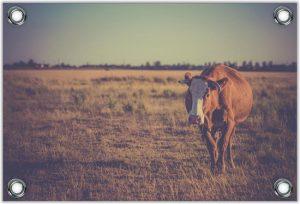De Koe poster en koeien afbeeldingen - www.BBQfriends.nl