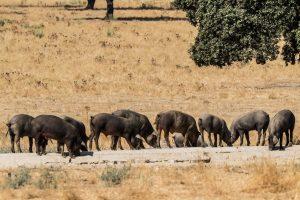 Iberico varkenvlees is een wereldberoemd varkensras - www.BBQfriends.nl
